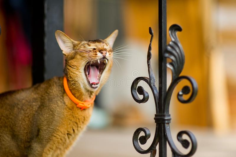Close-up portrait of a yawning cat standing near a metal fence. Close-up portrait of a yawning abyssinian cat standing near a metal fence royalty free stock images