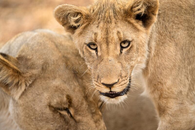 A close up portrait of a young female lioness with her mother. Looking towards the camera with both eyes, taken in the Madikwe Game Reserve, South Africa stock image
