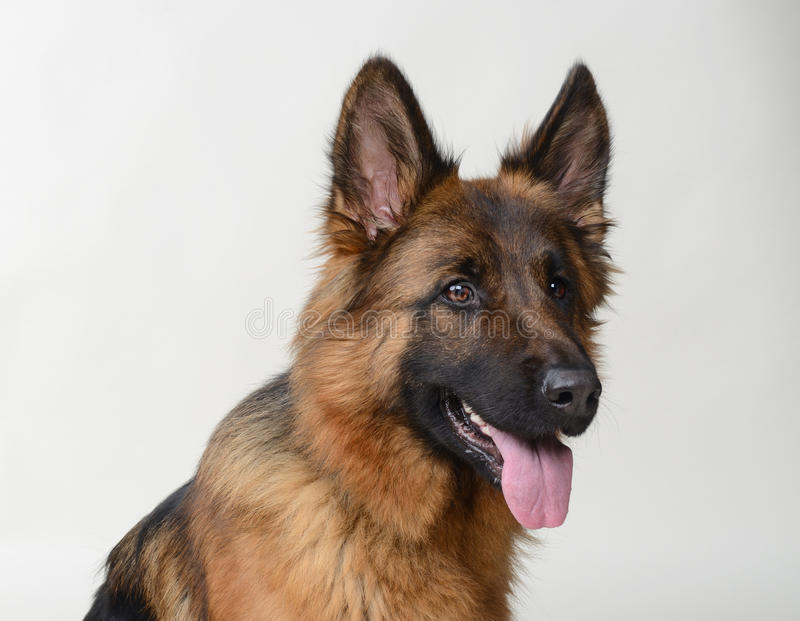 Download Close Up Portrait Of A Young German Shepherd Dog . Two Years Old Pet. Stock Photo - Image of breed, isolated: 83712746