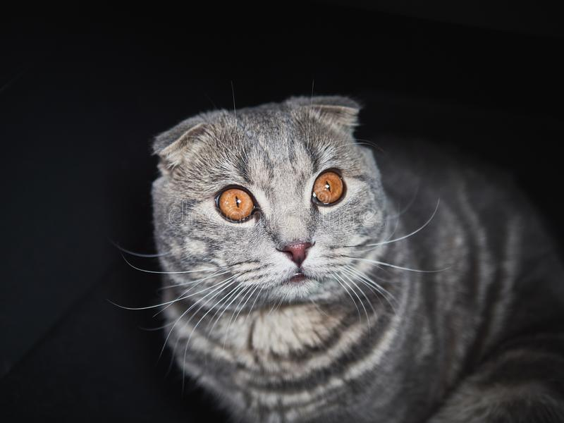 Close up portrait young gorgeous scottish fold cat sitting in the dark place stare at bright light royalty free stock images