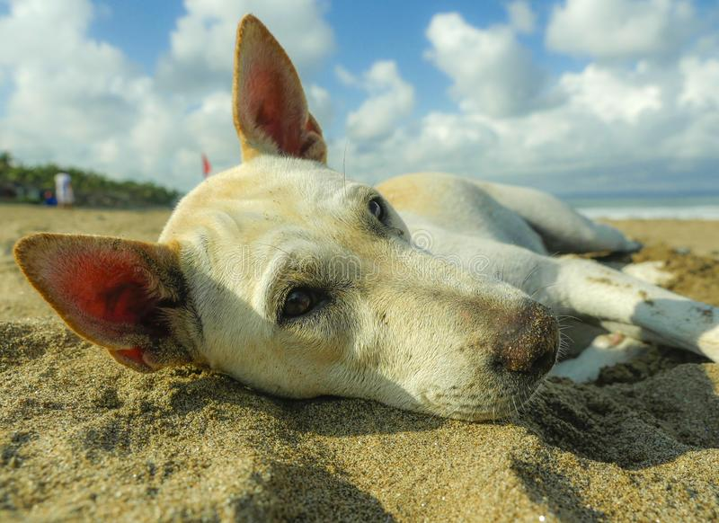 portrait of young happy and sweet white dog playing alone in the beach lying relaxed on sand under a blue sky royalty free stock photos