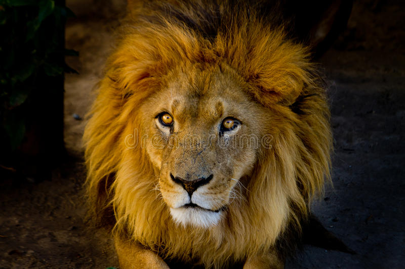 Close-up portrait of a young lion. Staring stock photography
