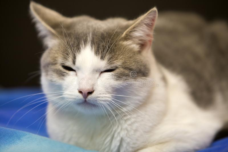 Close-up portrait of young nice small cute white and gray domestic cat kitten with dreamy expression on blurred black and blue stock images