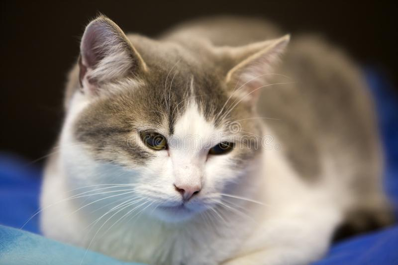 Close-up portrait of young nice small cute white and gray domestic cat kitten with dreamy expression on blurred black and blue royalty free stock photo