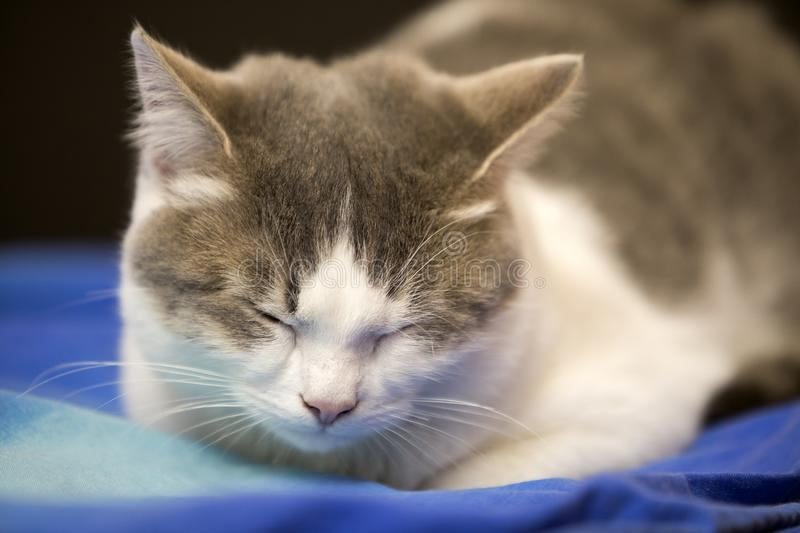 Close-up portrait of young nice small cute white and gray domestic cat kitten with dreamy expression on blurred black and blue royalty free stock photos