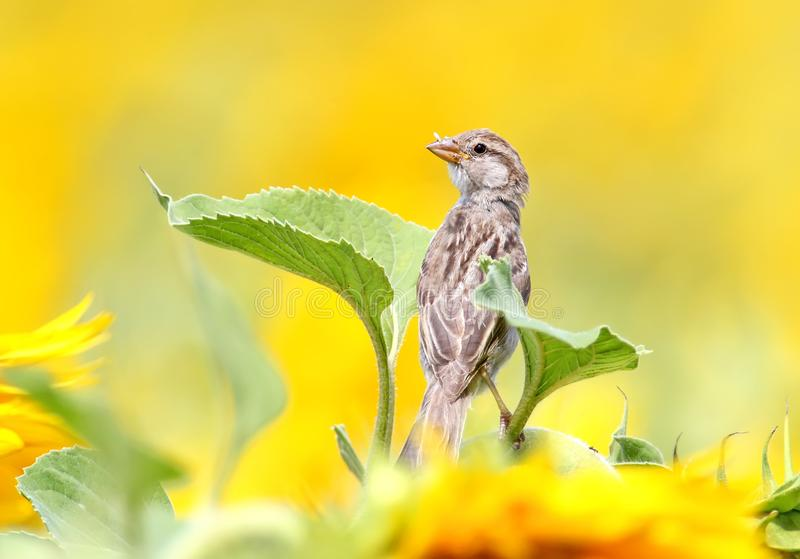 Close up portrait of young sparrow on sunflower with blurred yelloq background royalty free stock photography