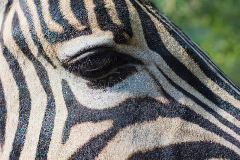 Close-up portrait of a zebra stock photos