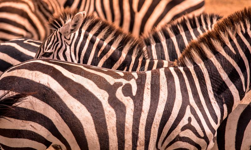 Close up portrait from a zebra in herd of zebras with pattern of black and white stripes. Wildlife scene from nature in savannah,. Africa. Safari in National royalty free stock images