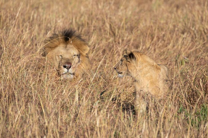 Close up portraits of adult male Sand River or Elawana Pride lion, Panthera leo, with cub in tall grass of Masai Mara with selecti. Ve focus in Kenya, Africa stock image