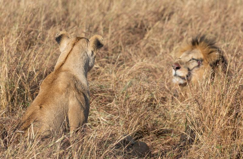 Close up portraits of adult male Sand River or Elawana Pride lion, Panthera leo, with cub in tall grass of Masai Mara with selecti. Ve focus in Kenya, Africa stock photo