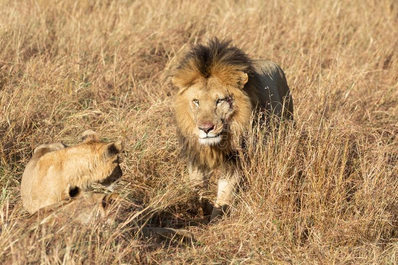 Close up portraits of adult male Sand River or Elawana Pride lion, Panthera leo, with cub in tall grass of Masai Mara with selecti. Ve focus in Kenya, Africa royalty free stock photos
