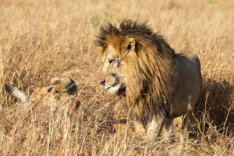 Close up portraits of adult male Sand River or Elawana Pride lion, Panthera leo, with cub in tall grass of Masai Mara. With selective focus in Kenya, Africa royalty free stock image