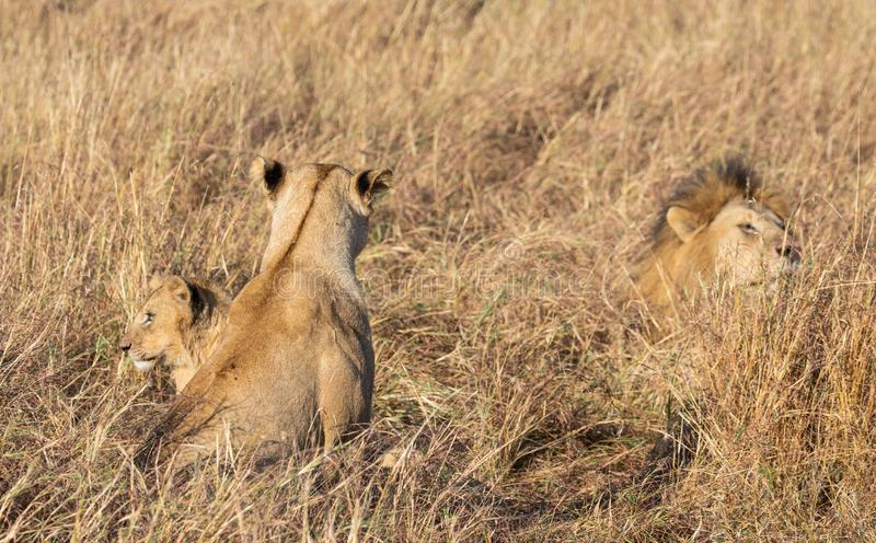 Close up portraits of adult male Sand River or Elawana Pride lion, Panthera leo, with cubs in tall grass of Masai Mara. With selective focus in Kenya, Africa stock photo