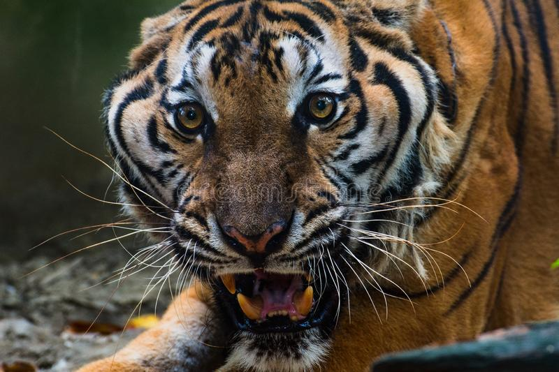 Close Up Portraits of roaring Tiger. Tiger roar In the distance Are horrible stock photos