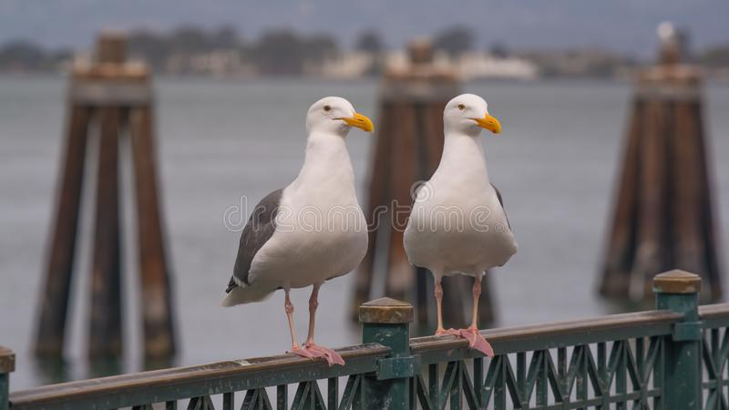 Close up portraits of sea gulls on Fisherman`s Wharf on the ocean in San Francisco stock photography