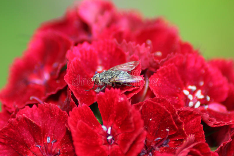 Close up in Portuguese gardens flowers Flox - Dianthus and a Fly. Amazing colorful vibrant red and green contrast. Garden at sunny summer or spring day stock photos