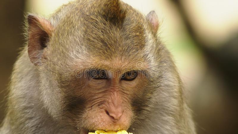 Close-up pouco macaco que come a espiga de milho Estilo de vida asiático fotos de stock royalty free
