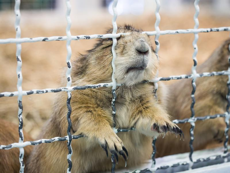 Close-up prairie dog standing behide a cage royalty free stock photos