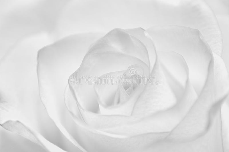 Download Bud of rose stock photo. Image of garden, botany, natural - 29847966