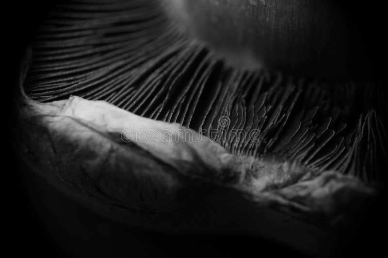 Close up preto e branco do cogumelo fotografia de stock royalty free