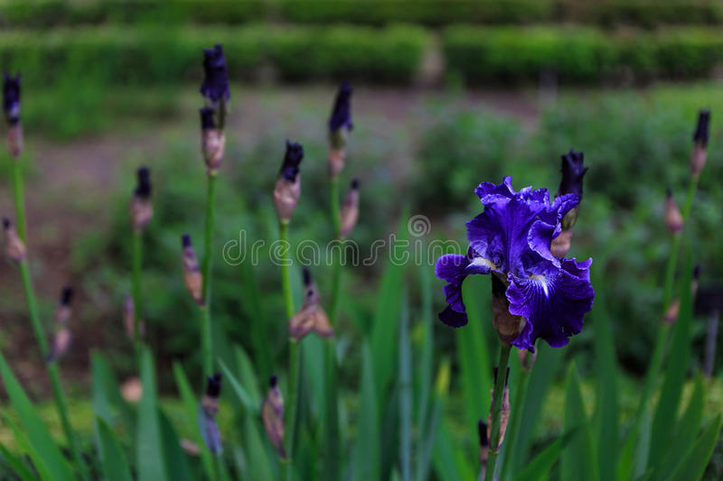 Close-up of a pretty blue flower. In the middle of a large garden stock photography