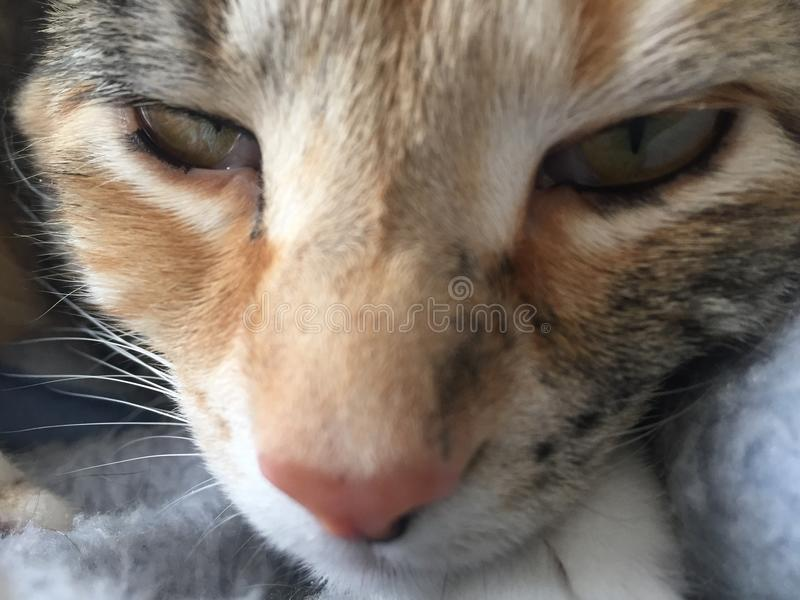 Close up | Pretty Little Tabby Tortie Cat. Close up of Little Girl Tabby Tortie Cat with Amber and Green eyes royalty free stock images