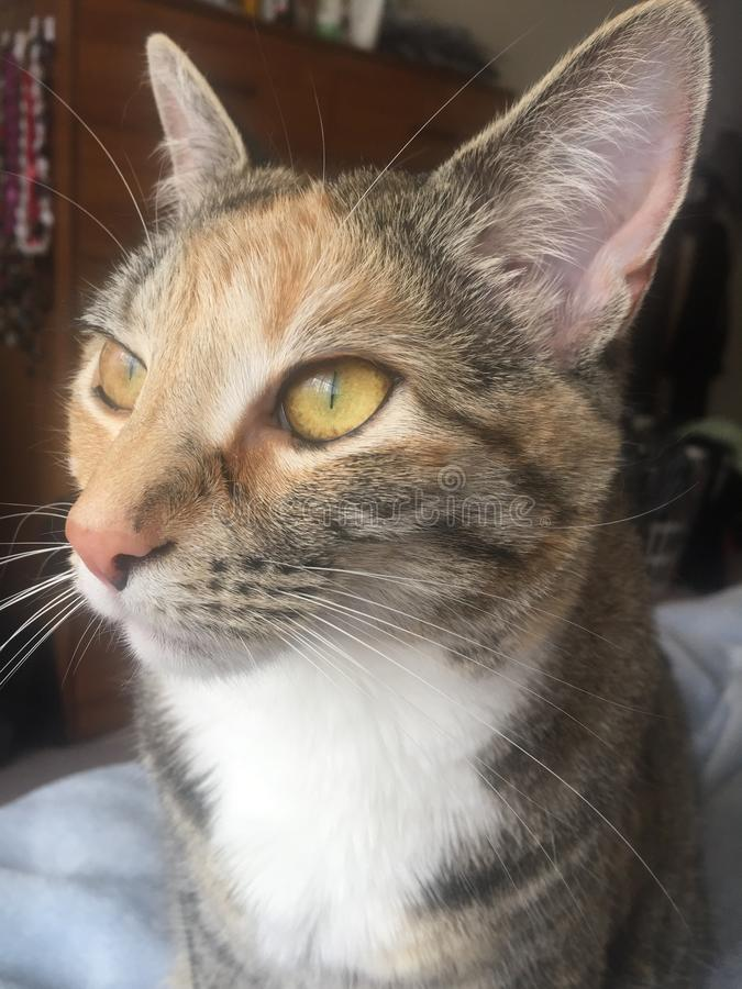 Close up | Pretty Little Tabby Tortie Cat. Little Girl Tabby Tortie Cat with ginger markings and amber eyes stock images
