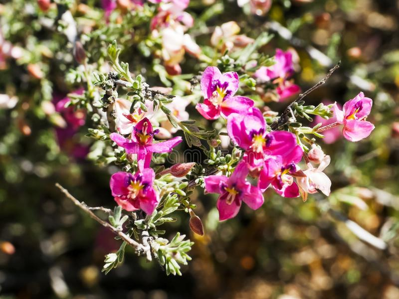 Close up of pretty pima rhatany flowers royalty free stock images