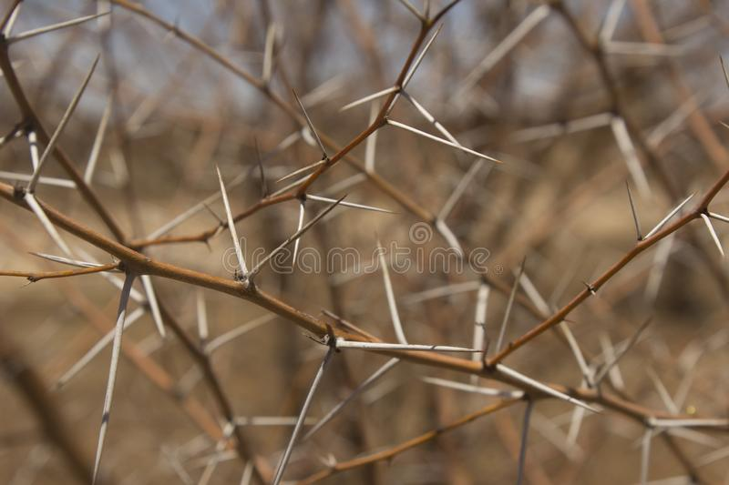 Close-up of prickly acacia thorns with no foliage. Prickly acacia thorns are a strong defence, but eradication programs in outback Queensland are working, as royalty free stock photography