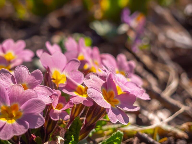 Close-up of primrose in the garden. stock photos