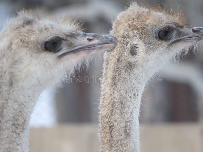 Close-up principal da avestruz Olhos e bico zoo imagem de stock