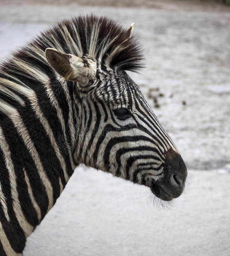 Close-up principal da zebra Zebra bonita do cavalo Zebra africana imagens de stock royalty free