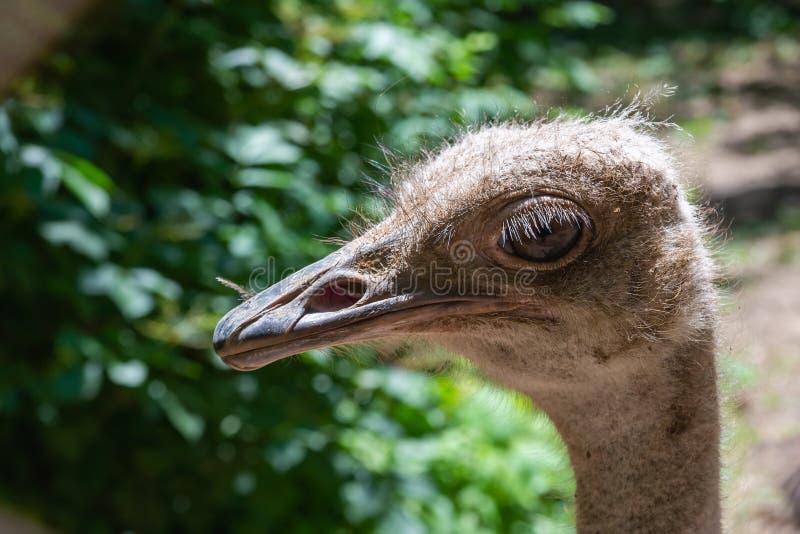 Close up principal do retrato da avestruz foto de stock