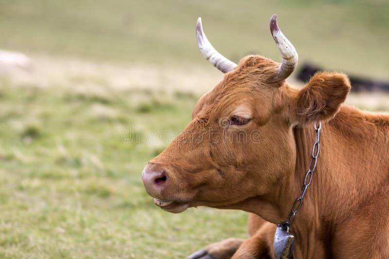 Close-up principal do retrato da vaca marrom grande no fundo borrado brilhante do campo ensolarado verde do pasto Cultivo e agric fotos de stock royalty free