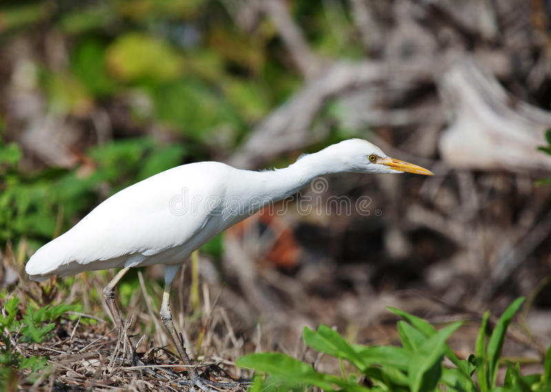 Download Cattle Egret stock photo. Image of bird, feathers, close - 30030872