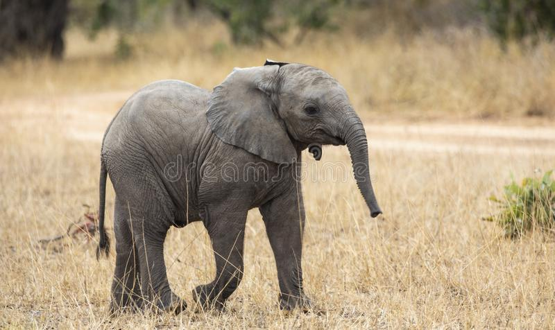 Close up profile portrait of baby elephant, Loxodonta Africana, walking next to dirt road with grass and natural landscape in back stock photography