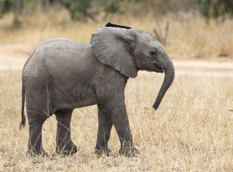 Close up profile portrait of baby elephant, Loxodonta Africana, walking next to dirt road with grass and natural landscape in back royalty free stock photography