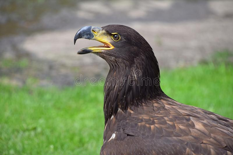 Close up profile portrait of Golden eagle royalty free stock photo