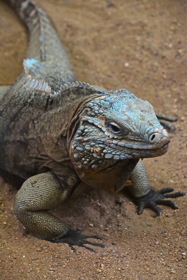 Close up portrait of blue iguana royalty free stock photography