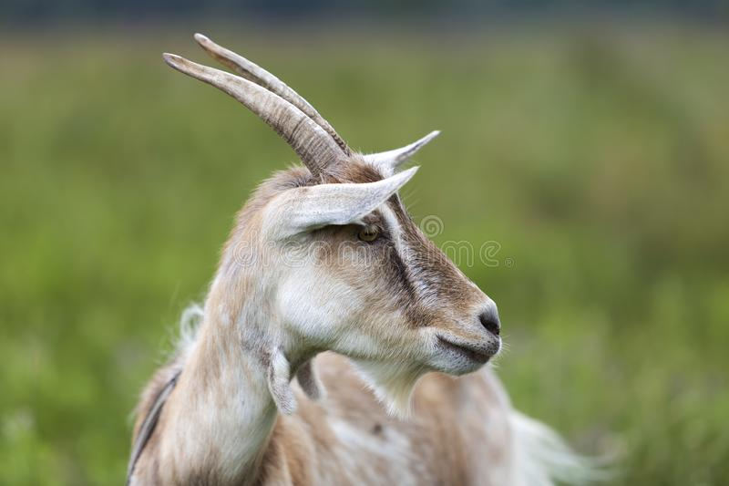 Close-up profile portrait of nice white hairy bearded goats with long horns on bright sunny warm summer day on blurred green royalty free stock photos