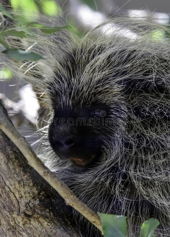 Porcupine. Close up profile portrait of North American rodent stock image