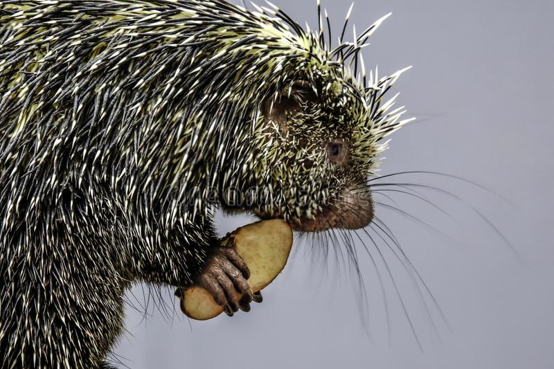 Porcupine. Close up profile portrait of prehensile-tailed porcupine royalty free stock images