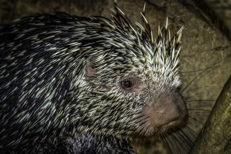 Porcupine. Close up profile portrait of prehensile-tailed porcupine stock image