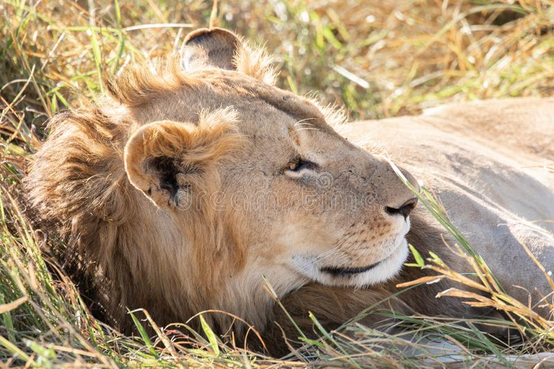 Close up profile portrait of young adult male lion with tall grass around his backlit head stock photos