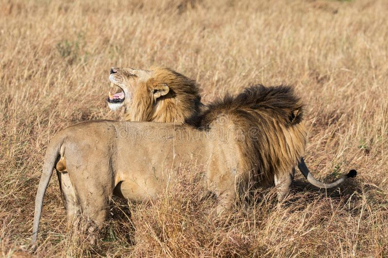 Close up profile portraits of two Sand River or Elawana Pride male lions. Panthera leo, with one yawning and showing teeth while standing next to his brother stock images