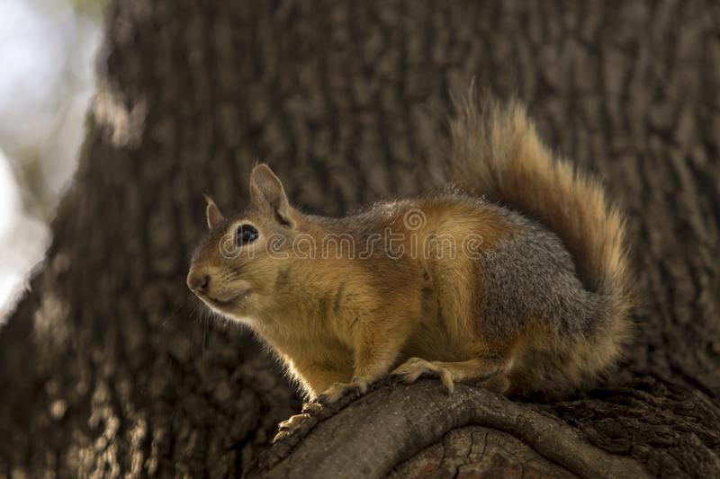 Close up profile of a Sciurus Anomalus, Caucasian squirrel on a pine tree trunk. stock images