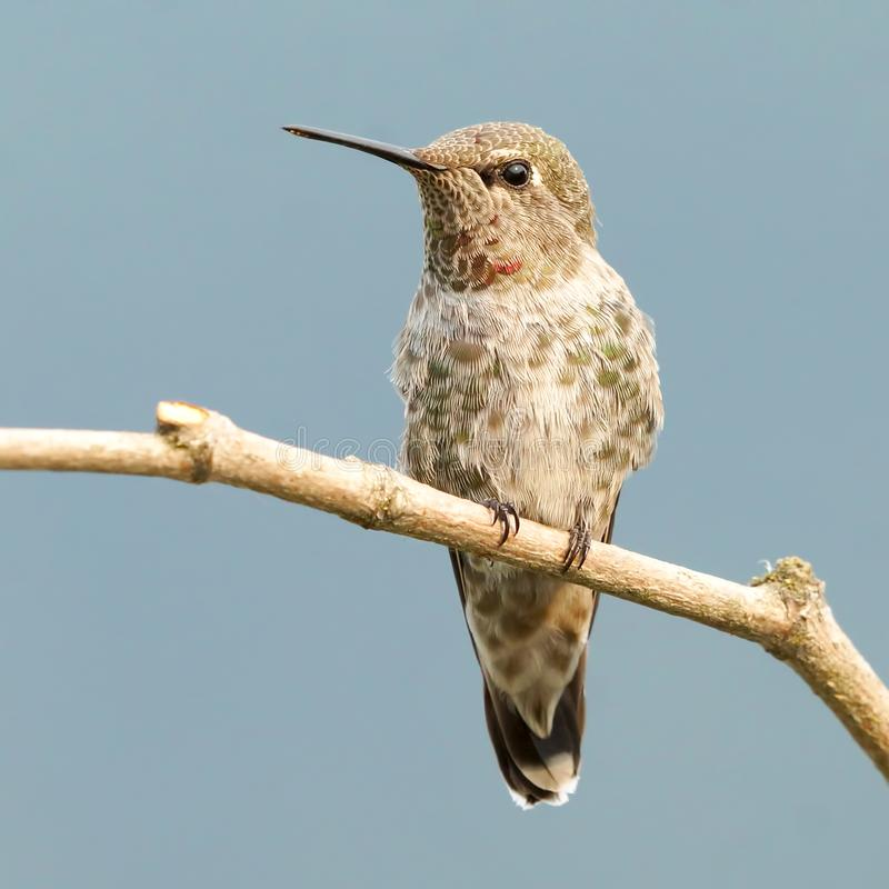 Tiny Fine Featured Female Anna`s Hummingbird Perched High On A Branch stock photos