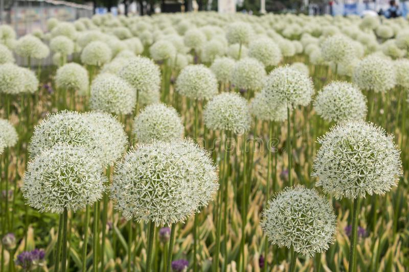 Close-up with the prospect of decorative onion flowers blooming in a summer flower bed in Moscow. Russian Exhibition Center. stock image
