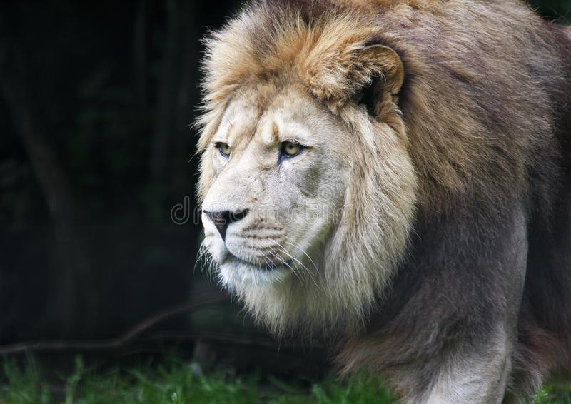 Close up of prowling male African lion panthera leo royalty free stock photo