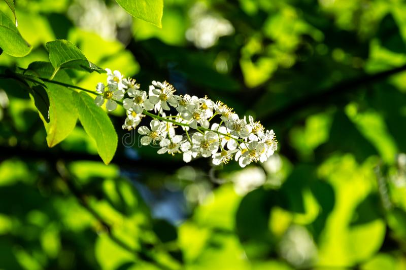 Close-up of Prunus padus `Siberian beauty` blossom on the background of bright blue sky in the spring garden. Blooming bird cherry. Hackberry, hagberry, or stock photography